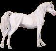 Arabian Horse ##STADE## - coat 7