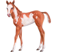 American Paint Horse ##STADE## - coat 35