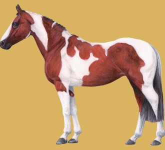 Take in a american paint horse breed horse