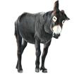 Grand noir du Berry Donkey ##STADE## - coat 1000000037